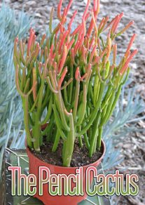The Pencil Cactus - How to Grow Euphorbia tirucalli at Home