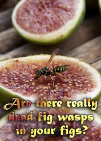 Are there really dead fig wasps in your figs?