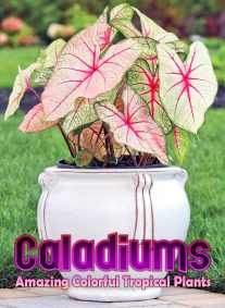 Caladiums - Amazing Colorful Tropical Plants