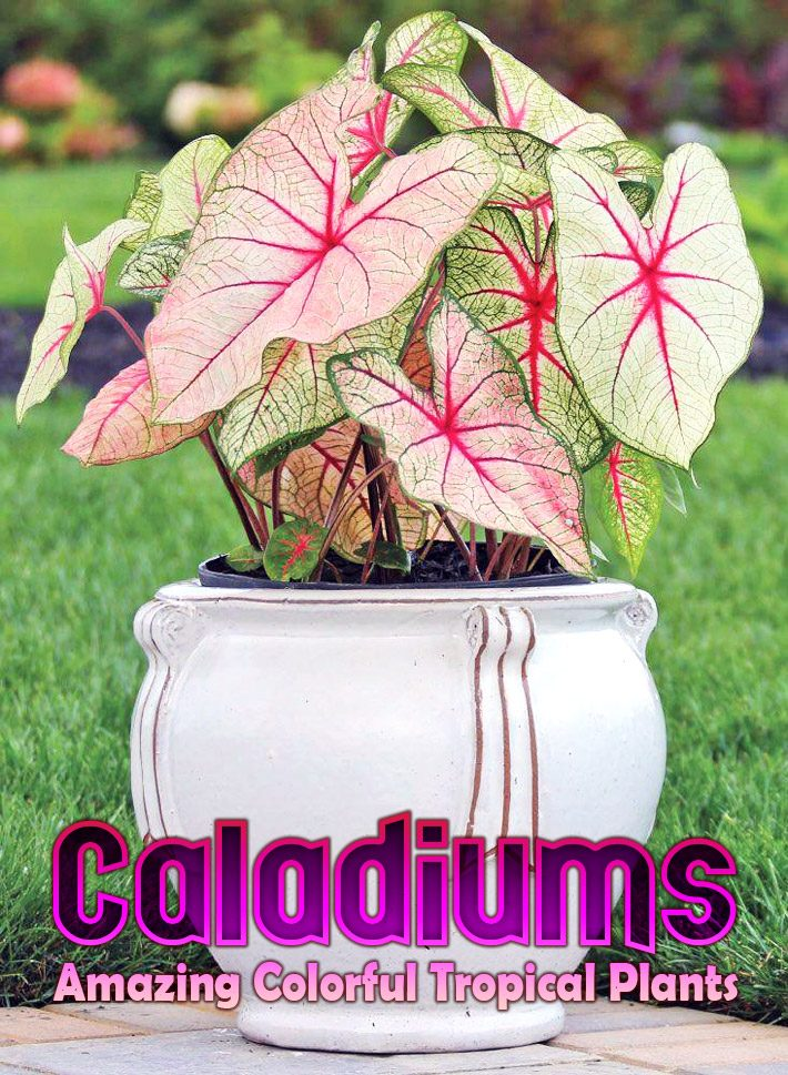 Caladiums – Amazing Colorful Tropical Plants