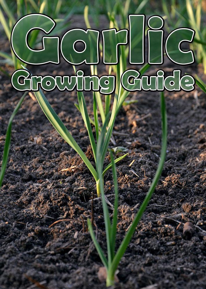 Garlic – Growing Guide