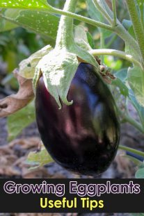 Growing Eggplants: Useful Tips