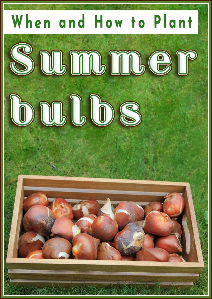 Summer bulbs – When and How to Plant